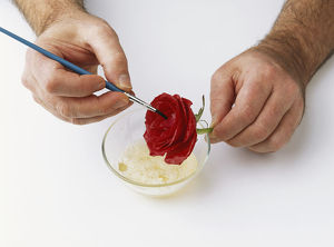 Red rose being coated in egg white, using a fine paintbrush (crystallising flowers)