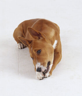 A reddish brown basenji dog with pricked up ears chews on a toy or bone while lying down.