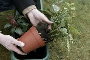Removing Aucuba japonica 'Crotonifolia' from container