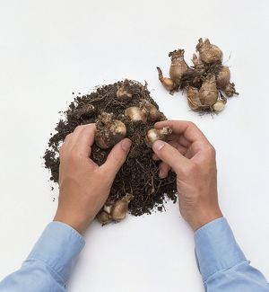Removing daffodil bulbs from heap of compost