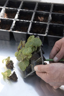 Removing seedling from modules with dibber, close-up