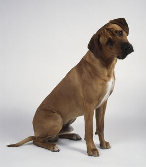 Rhodesian Ridgeback dog, sitting with his head cocked, side view