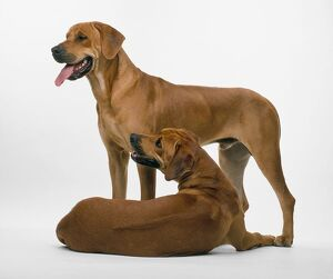 Two Rhodesian Ridgebacks, one standing, the other lying down