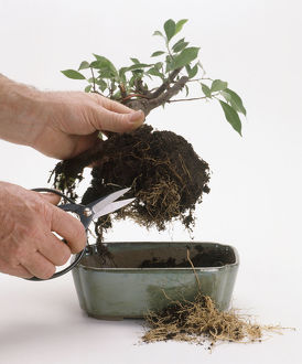 Roots being trimmed from bonsai tree, close-up