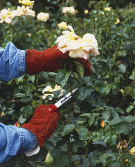 Rosa, faded Rose flowerhead being cut with pruning shears to stimulate the production