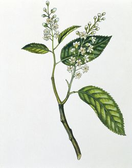 Rosaceae - Leaves and flowers of Bird Cherry Prunus padus, illustration