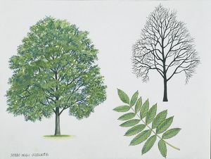 Rosaceae - Rowan or European mountain ash Sorbus aucuparia, illustration