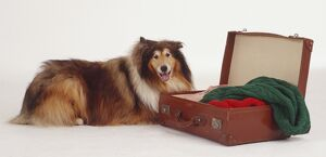 Rough Collie dog lies on the floor next to an open suitcase.