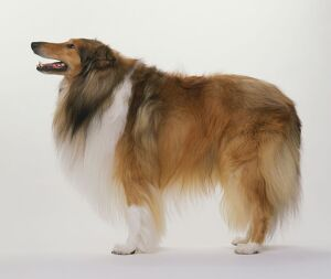 Rough Collie dog standing with head in profile