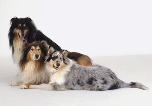 Two Rough Collie dogs and one Smooth Collie side by side