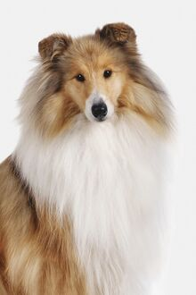 Rough Collie, looking at camera