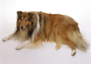 Rough Collie lying down