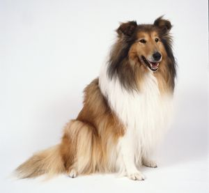 Rough collie sits looking alert its head cast slightly to the side