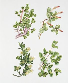 Salicaceae, illustration