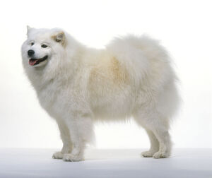Samoyed dog, standing, side view