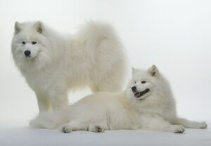 Two Samoyed dogs, one lying down, the other standing behind