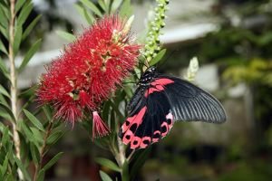 Scarlet mormon (Papilio rumanzovia) butterfly on bottlebrush plant