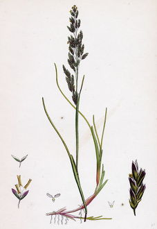 Sclerochloa maritima; Creeping Sea Meadow-grass