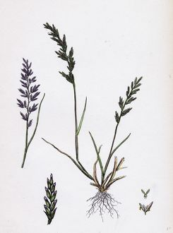 Sclerochloa rigida, Hard Meadow-grass