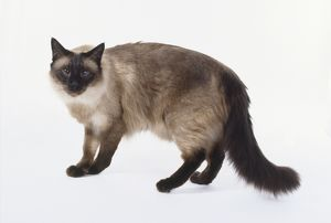 Seal Point Balinese cat with seal brown points and pale fawn coloured back, standing.