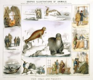 Seal and Walrus used for: food and tents: clothing: canoes: fur: oil: glue: false teeth