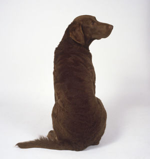 A seated dark brown Chesapeake Bay retriever with strong hindquarters and back gazes over its shoulder.
