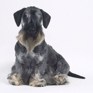 animals/pets/seated dark gray cesky terrier ears folded downward
