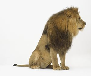 Seated male Lion (Panthera leo), side view.