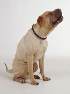 A seated white Shar Pei dog with wrinkled skin chews or eats while tilting its head upward