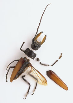 Segmented exoskeleton of a beetle separated into parts including the head with large mandibles
