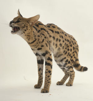 Serval (Felis serval) with back arched and mouth open