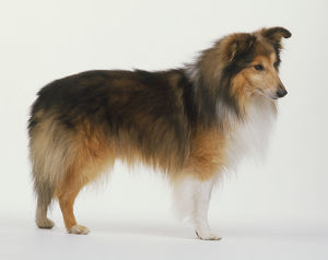 Shetland Sheepdog (Canis familiaris) standing, side view.