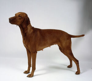 A short-haired brownish-orange Hungarian vizsla bitch stands with a person's