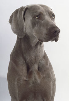 A short-haired dark gray Weimaraner dog with a narrow muzzle and slightly folded ears