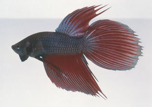 Siamese fighting fish (Betta splendens), side view