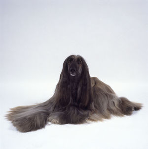 Silver-grey Afghan Hound showing long, silky coat
