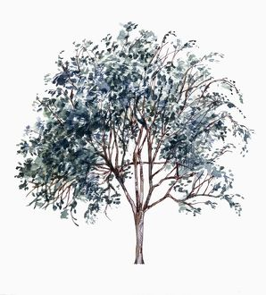 Silver raisin Grewia monticola, illustration