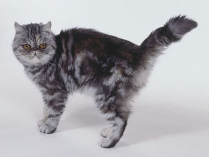 Silver Tortie Classic Tabby Exotic shorthaired cat with oyster-shaped patterning