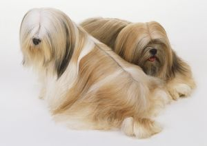 Two sitting Old English Sheepdogs (Canis familiaris), high angle view