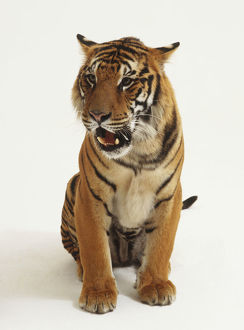 Sitting Tiger (Panthera tigris) baring its teeth, front view