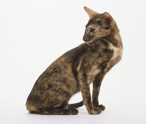 A sitting tortoiseshell Oriental Shorthair Cat (Felis catus), looking over its shoulder