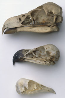 Skull of a Brown Snake Eagle (Circaetus cinereus)