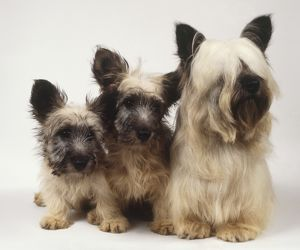 Skye Terrier (Canis familiaris), bitch with two pups, seated together, front view.