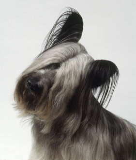 Skye Terrier with head cocked, close-up
