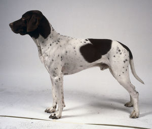 A slender black and white old Danish pointer dog with spotted and speckled flanks