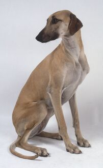A slender light brown sloughi dog sits on its haunches and glances back to the right