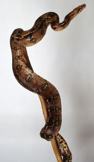 A slithering viper with dark red markings, Boa constrictor