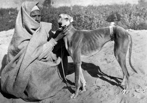 Sloughi Dog. Egypt. Africa