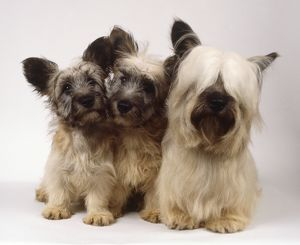Three small fluffy skye terriers huddle together, two puppies and one adult with