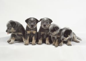 animals/small furry gray tan australian cattle dog puppies